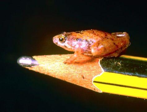 婆罗洲岛发现世界最小青蛙大如豌豆
